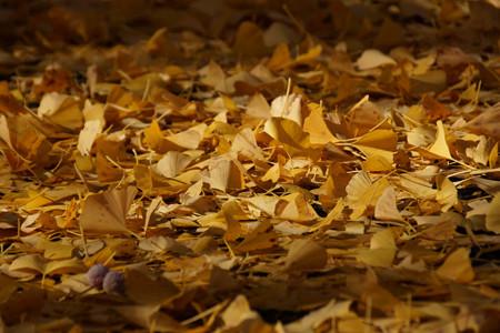 落ち葉の中には銀杏の実も!