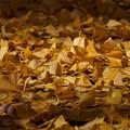 Photos: 落ち葉の中には銀杏の実も!