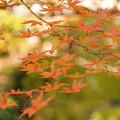 Photos: 淡色のモミジと黄葉!20121125