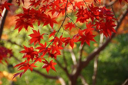 真赤な紅葉と緑!2012