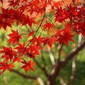 Photos: 真赤な紅葉と緑!2012