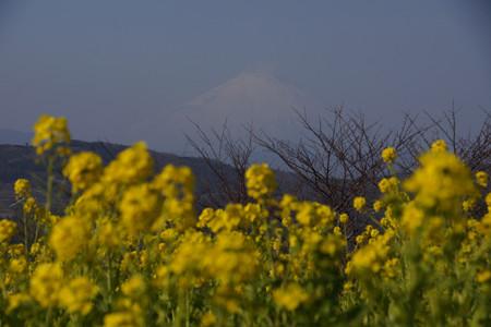 迎春、菜の花と富士山!2013