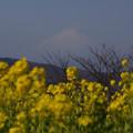 写真: 迎春、菜の花と富士山!2013
