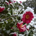 Photos: サザンカも雪帽子!2013