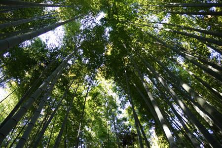 竹林の天を見上げる!201301