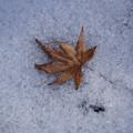 Photos: 雪の中にモミジ!201301