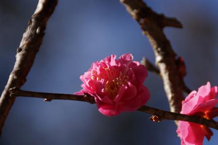 寒紅梅が咲き始め!201301