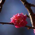Photos: 寒紅梅が咲き始め!201301