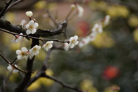 白梅と淡いロウバイ!201302
