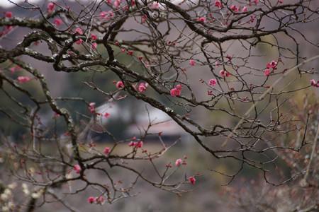 古木の紅梅が見頃!201302