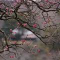 写真: 古木の紅梅が見頃!201302