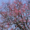 写真: 紅梅が満開に!201302