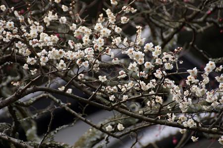早咲きの白梅が咲くお寺!201302