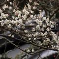 写真: 早咲きの白梅が咲くお寺!201302