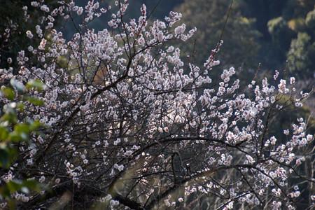 山裾で咲く白梅!201302