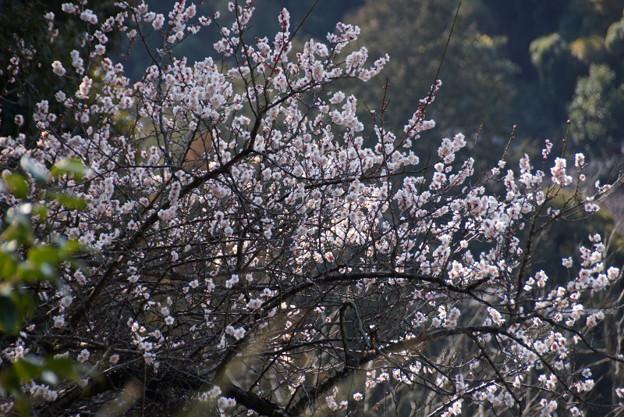 写真: 山裾で咲く白梅!201302