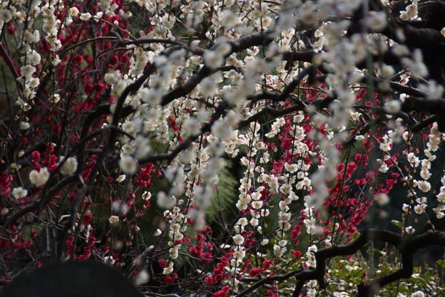 紅白の枝垂れ梅!130302