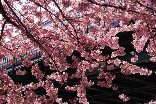 河津桜が見頃に!130309