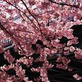Photos: 河津桜が見頃に!130309