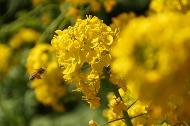 ミツバチと菜の花!130309
