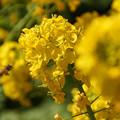 Photos: ミツバチと菜の花!130309