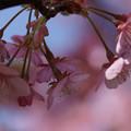 写真: 河津桜が見頃に5! 130309