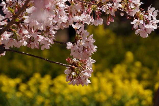 早咲きの春めき!130316