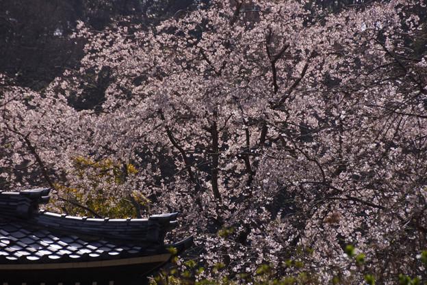 お寺のしだれ桜が見頃!130320