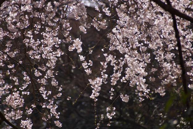 しだれ桜が輝く!130320