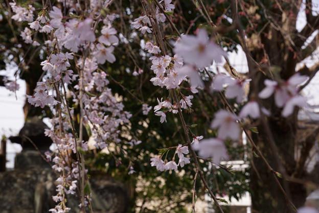 可憐なしだれ桜!130320