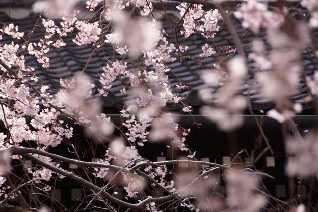 しだれ桜の花模様!