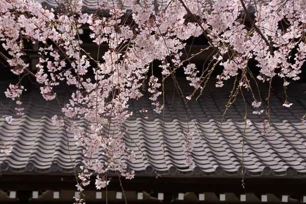 しだれ桜の花模様2!