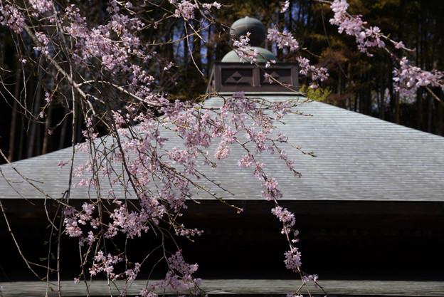 しだれ桜が彩る本堂!130322