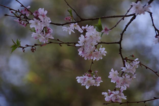 十月桜が春に咲いています2!130322