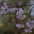 Photos: 十月桜が春に咲いています2!130322