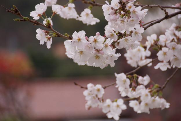 春色のさくら!130323