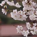 Photos: 春色のさくら!130323