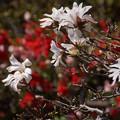 写真: シデコブシも春色!130322