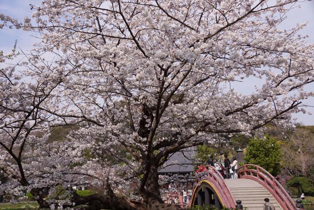 写真: 朱色の反橋と桜!2013