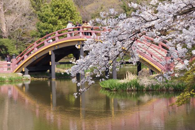 写真: 朱色の反橋と桜2!2013