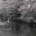 写真: ユリカモメ桜b