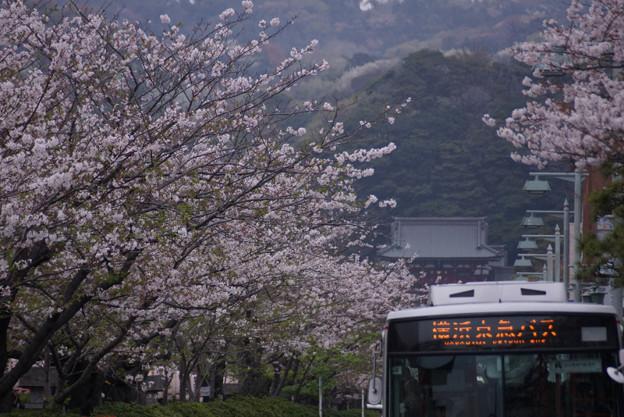 鶴岡八幡宮の桜!130330