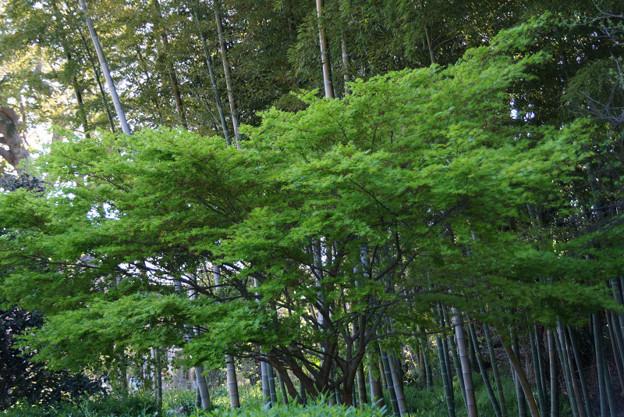 写真: 新緑の春紅葉と竹林!