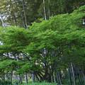 Photos: 新緑の春紅葉と竹林!