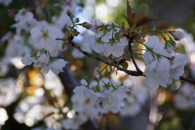 写真: 緑の愕、御室桜!