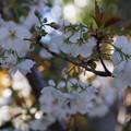 Photos: 緑の愕、御室桜!