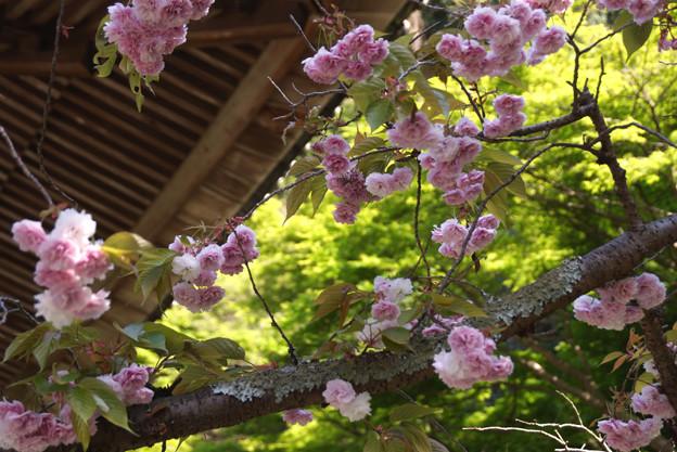 お寺と八重桜2!130413