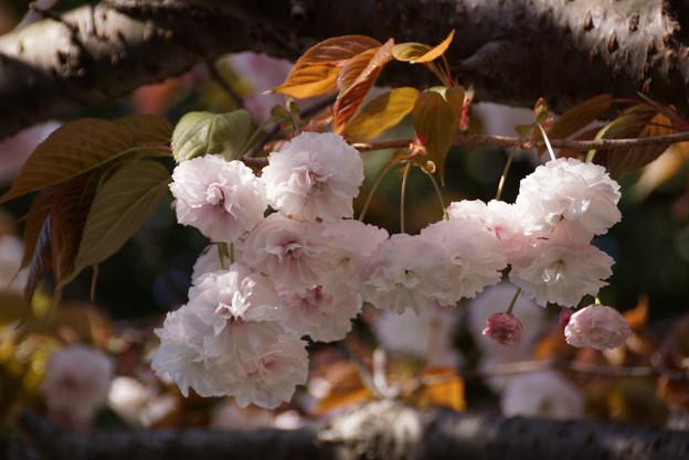 里桜!130413