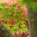 Photos: 春紅葉!130420