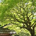 Photos: 春紅葉!130427